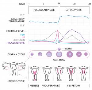 Menstrual Cycle - Progesterone - Dreams of Milk ANR