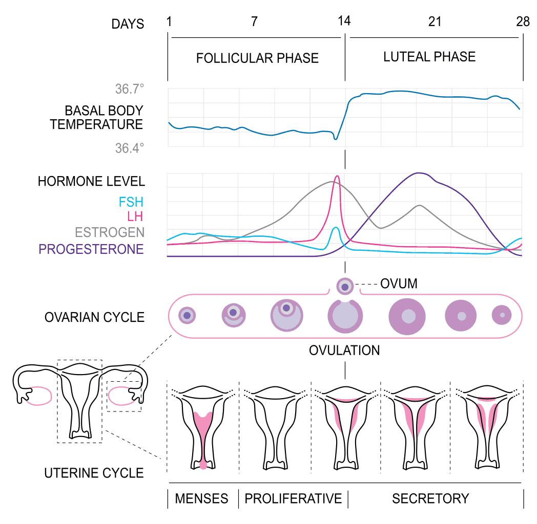 Menstrual Cycle - Progesterone